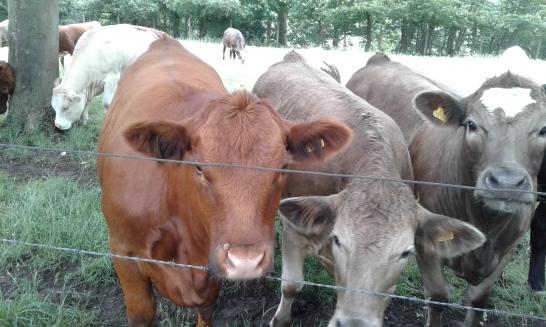 cow mates