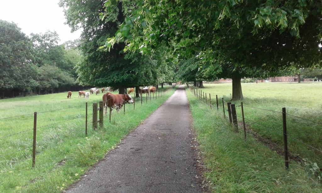cows path